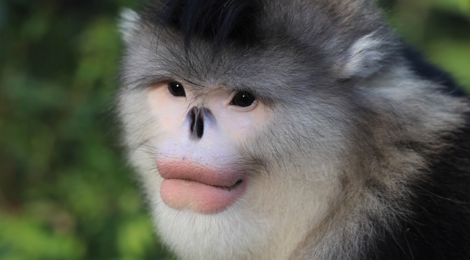 Survival of the Snub-Nosed Monkeys