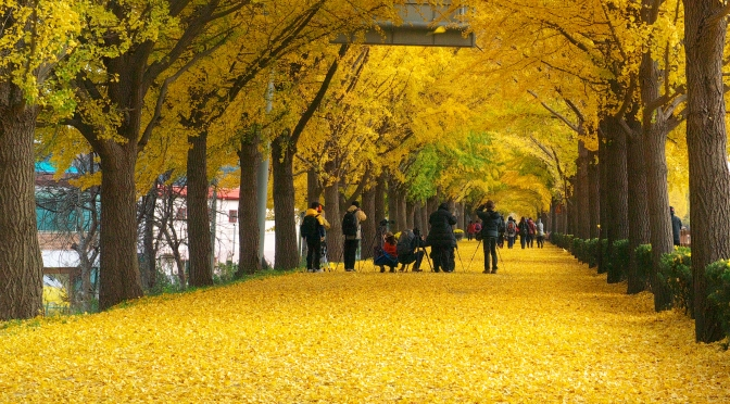 China's Oldest Resident: The Ginkgo Tree