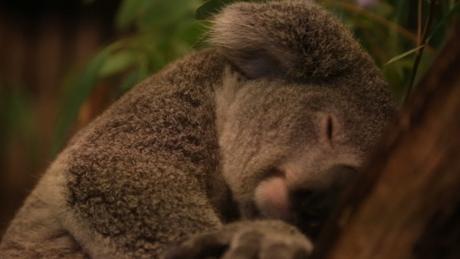 Panda Triplets & Koala Twins: The Incredible Breeding Team Behind China's Miracle Animal Births